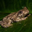 Emerald Tree Frog by D Byrne