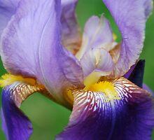 Iris Bloom by pictureit