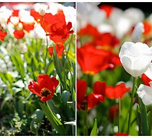 Red and white poppies by Peta Santoro
