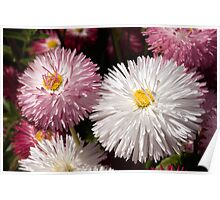 Macro image of two Bellis Flowers Poster