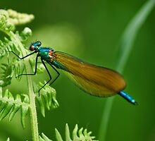 Male Demoiselle by Country  Pursuits