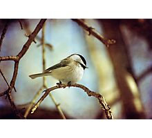 shy chickadee Photographic Print
