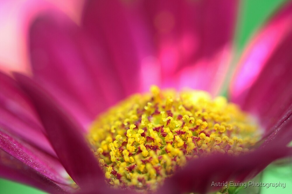 Pink Marguerite by Astrid Ewing Photography