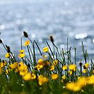 Buttercups 1 by C.A. Rowe
