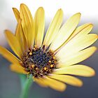 Osteospermum hyoseroides (Star of the Veldt) by Astrid Ewing Photography