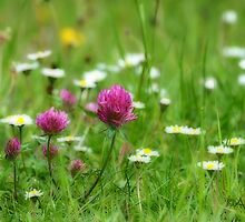 Clover and Daisies by AlisonPhillips