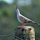 Crested Pigeon In Our Back Paddock. Cedar Creek, Queensland, Australia by Ralph de Zilva