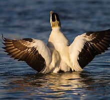 Common Eider (Somateria mollissima) male by Gabor Pozsgai