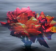 Roses by Robert Ball
