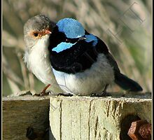 Superb blue wrens ... by AzoicArts