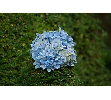 Blue Flower Ball Photographic Print