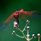 Red Winged Dragonfly  - (Diplacodes haematodes)   -  Anambola  Madagascar by john  Lenagan
