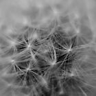 dandelion  by ConnorTaylor