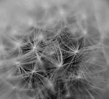 dandelion  by ConnorTaylor
