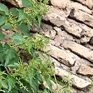Nettle over wall by Cebas