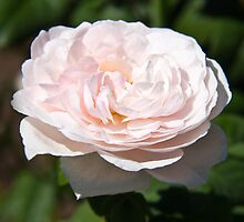 Pale Pink Rose by ValeriesGallery