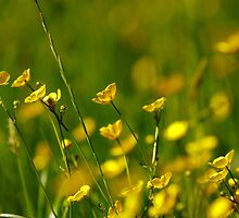 Ere the buttercups peepeth by Stephen J  Dowdell