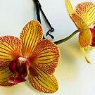 1543-beautiful orchid by elvira1