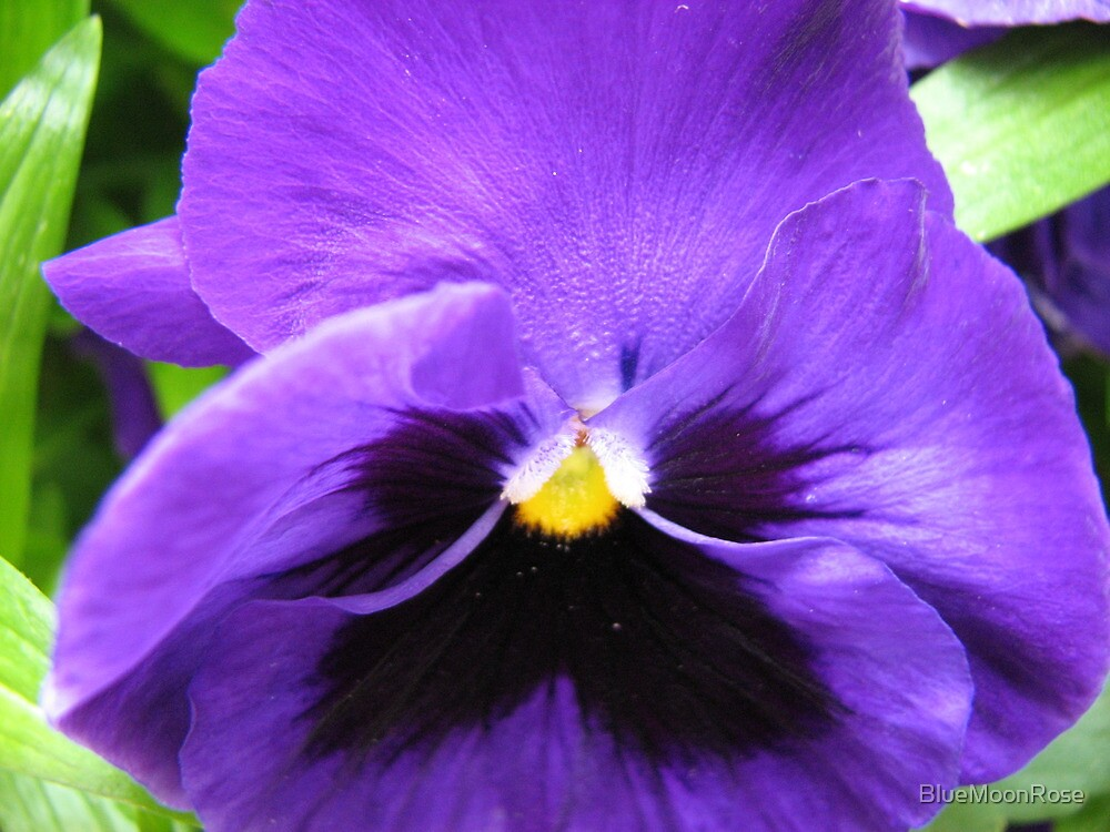 Up Close and Personal - Pansy Macro Untouched by BlueMoonRose