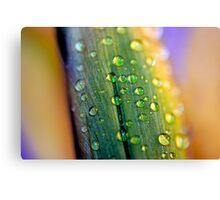 Water droplets on Irish Daffodils Canvas Print