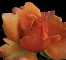 From the Rose Garden by Lynn Gedeon