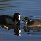 Coot and chick by Mick Gosling