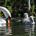 Mute Swan and Cygnets by Mick Gosling