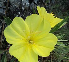 Glade Lily ( Evening Primrose) by PicsbyJody