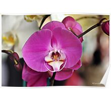 orchid spray Poster