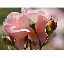 Peach Peony Photographic Print