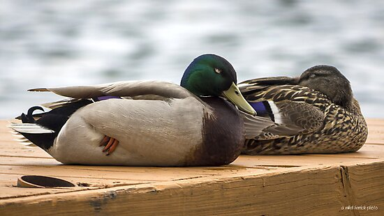 Duck Napping by Mikell Herrick