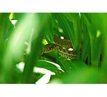 Thamnophis elegans Photographic Print