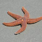 Common Sea Star (Starfish) by Kathy Baccari