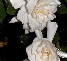 Gardenia After Dark by Terri Chandler