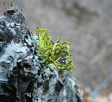 Branching Lichen by Chad Burrall