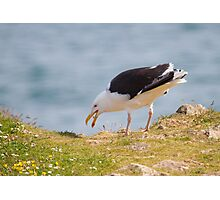 Greater Black-Backed Gull Photographic Print