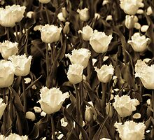 A field of frilly tulips in sepia by Alison Hill