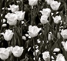 A field of Frilly Tulips in B&W by Alison Hill