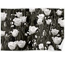 A field of Frilly Tulips in B&W Poster