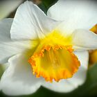 Daffodil Beauty by Alison Hill
