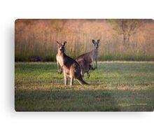 Kangaroos with Joey Late Afternoon at Vacy, NSW Australia Metal Print