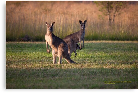 Kangaroos with Joey Late Afternoon at Vacy, NSW Australia by SNPenfold