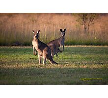 Kangaroos with Joey Late Afternoon at Vacy, NSW Australia Photographic Print