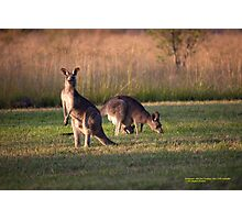 Kangaroos and baby Joey grazing at Vacy, NSW Australia Photographic Print