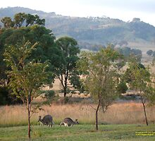 Kangaroos and their Joey -Vacy, NSW Australia by SNPenfold