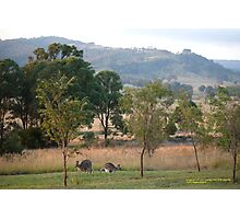 Kangaroos and their Joey -Vacy, NSW Australia Photographic Print