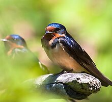 Barn Swallow by withacanon
