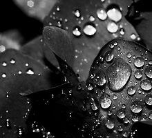 Raindrops on Some Roses by StudlyMuffin