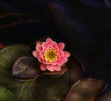 Floating Lily by vigor