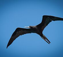 Frigate Bird by Ralph Goldsmith